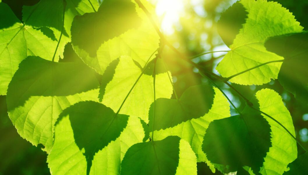 Energien fra solen er så sterk at den burde ødelegge plantenes energiabsorberende proteiner. Det gjør den imidlertid ikke: Plantene bruker et «proteinskjelv» som fordeler energien utover hele proteinet. (Foto: Microstock)