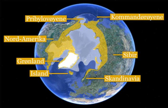 Kartet viser utbredelsen av fjellrev i Arktis (gul farge) og gjennomsnittlig maksimal utbredelse av sjøis i åra 1979-2000 (lyseblå farge). Island, Pribylovøyene og Kommandørøyene har bestander av fjellrev som i dag er isolert av isfritt hav. Basert på Larson et. al 2012. (Foto: (Kart: Google Maps/tilpasset av forskning.no/Per Byhring))