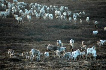 Lave reintall og høy planteproduksjonen om sommeren gir økt kalveproduksjon og økte slaktevekter på kalv om høsten. (Foto: Audun Stien)