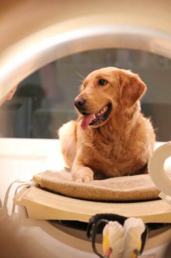 Hund venter pent på hjerneskanning. (Foto: Eniko Kubinyi)