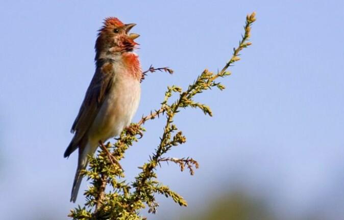 Rosenfinken er blant de rødlistede fugleartene som trives godt i ravinelandskapet.
