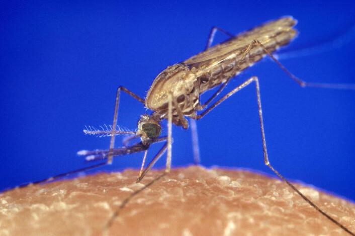 Denne myggarten, Anopheles gambiae, står for storparten av malariasmitten i Afrika. Så langt har forsøkene med plankton mot denne myggen vist blandede resultater. (Foto: James Gathany, Centers for Disease Control and Prevention)