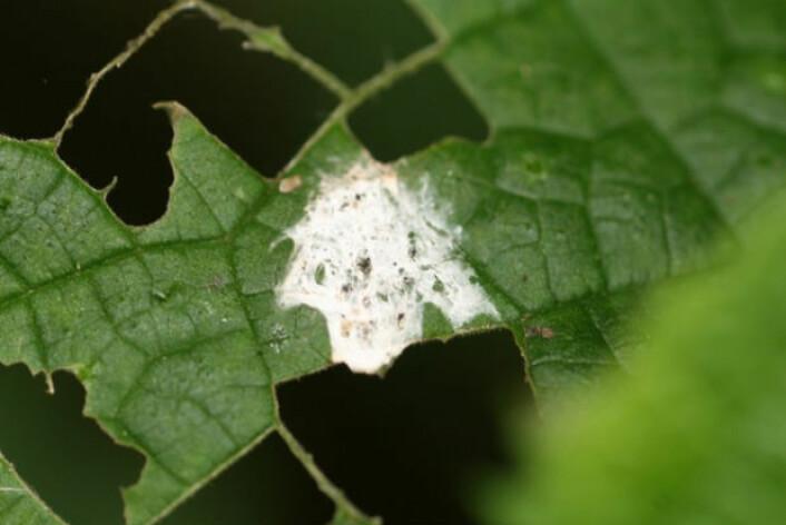 Denne edderkoppen er helt skjult av nettet sitt. (Foto: Min-Hui Liu)