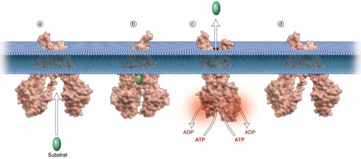 Figuren viser hvordan en ABC-transportør frakter et molekyl ut av cellen. Dette kan være et kroppseget stoff slik som cGMP eller et legemiddel, for eksempel en cellegift. a) Molekylet gjenkjennes av transportøren. b) Molekylet binder seg til bindingssetet. Dette gjør at transportøren lukkes mot det intracellulære rommet og at c) Kjemisk energi frigjøres fra ATP. Dermed åpnes transportøren på yttersiden av cellen og molekylet blir presset ut. Deretter lukkes transportøren mot yttersiden og åpnes mot innersiden av cellen og d) er klar for å ta imot et nytt molekyl. (Illustrasjon: Tidsskrift for den norske legeforening)