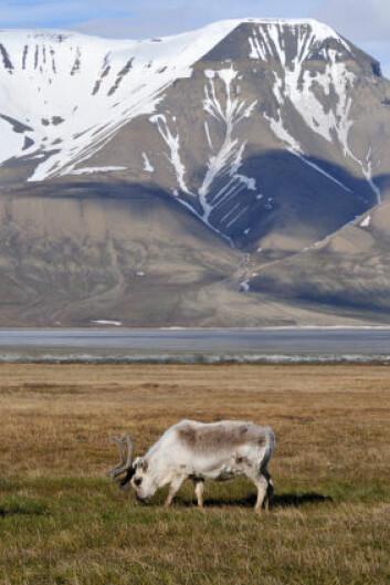 Reinsdyr på Svalbard. (Foto: iStockphoto)