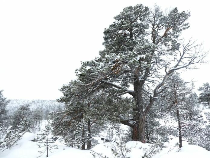 Furu dominerte de norske barskogene i flere tusen år etter istiden.
