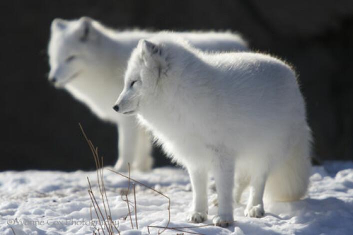 Fjellrev kan legge ut på lange vandringer over arktisk sjøis. (Illustrasjonsfoto: Yvonne Cox)