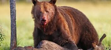 Bjørnen stjeler rått fra ulven