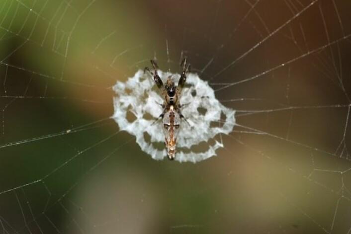 Edderkopper, som denne unge hunnen, forsøker å gjemme seg fra rovdyr ved å imitere livløs fugleskitt. (Foto: Min-Hui Liu) (Foto: Min-Hui Liu)