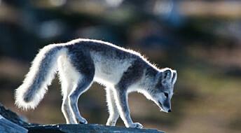Rovdyrene styrer økosystemet i Arktis