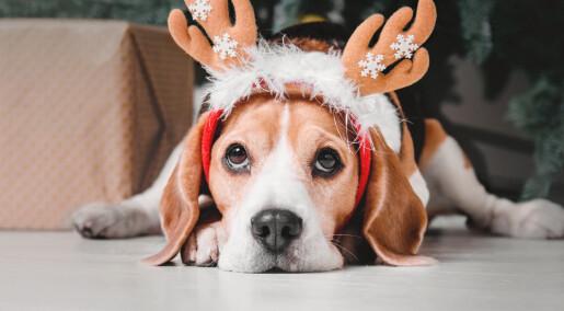 Hunder legger mye på seg i jula