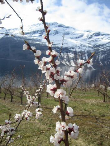 Aprikostrærne blomstret allerede 2. april ved Bioforsk Ullensvang. (Foto: Mekjell Meland)