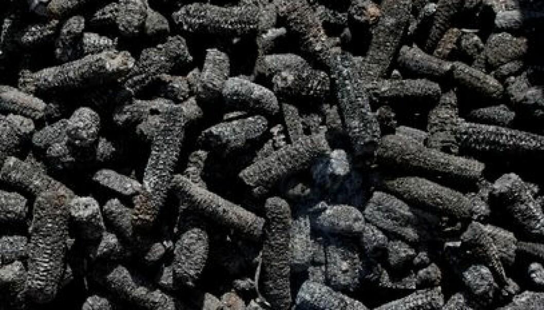 Forbrenning av organisk materiale uten tilførsel av oksygen fører til at det dannes kull. Dette ser ut som forkullede maiskolber, men består av nesten helt rent karbon. NGI