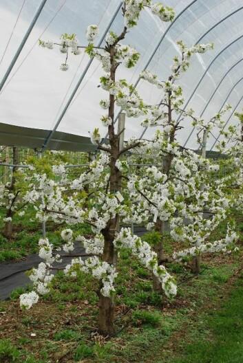 Søtkirsebærdyrking i tunnel beskytter trærne mot regn og gir stor avling. Søtkirsebær (Prunus avium) kalles moreller på folkemunne. (Foto: Roald Sørheim)