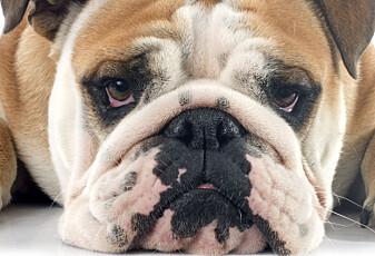 Mange hunder har blitt for tykke