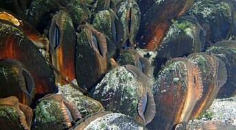 Muslingenes årringer forteller om klima