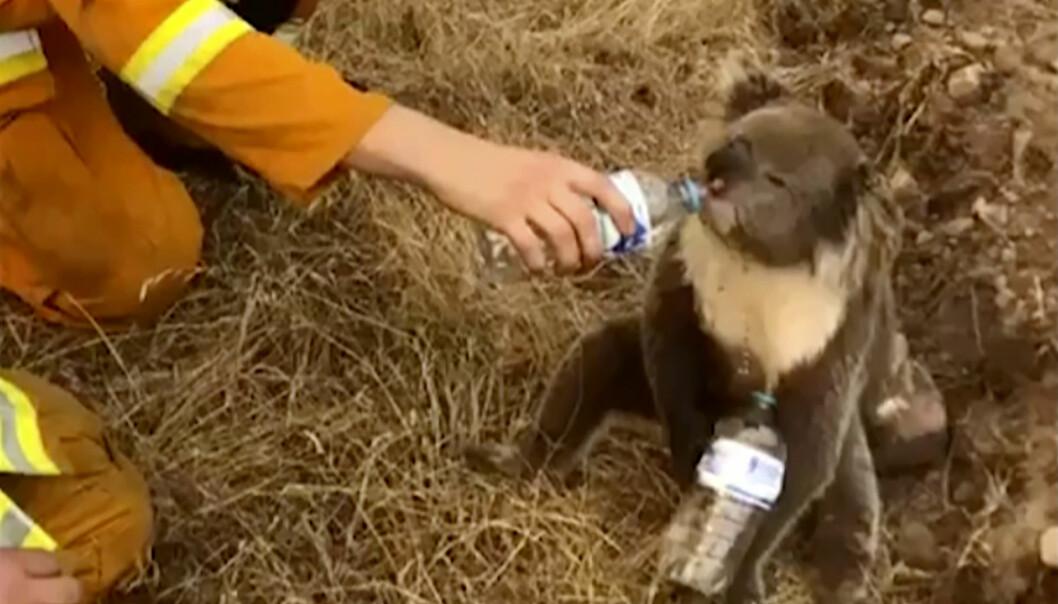En koalabjørn får vann fra en brannmann i Cudlee Creek i South Australia. Tusenvis av koalabjørner fryktes å ha dødd i brannene.