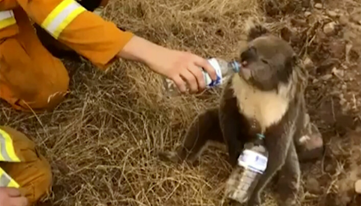 I år har det vært mange skogbranner i Australia. Her får en koalabjørn vann av en brannmann.