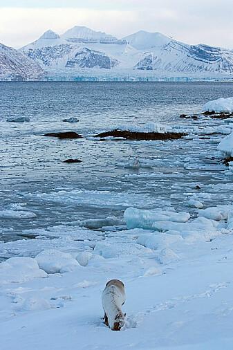Tang under snøen i fjæra er også mat for reinsdyrene.