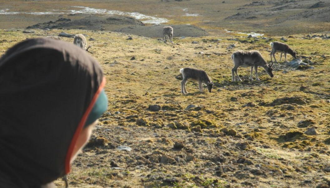Marinbiolog Morgan Bender studerer en flokk. Reinsdyrene på Svalbard brukte 100 år på å komme tilbake etter den intensive jakten.