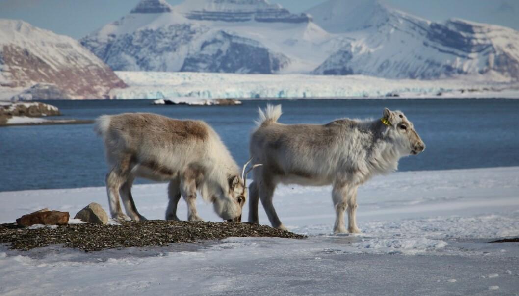 Reinsdyr har holdt til på Svalbard i minst 3600 år. De var nær ved å bli utryddet for hundre år siden.
