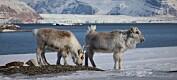 Svalbardrein var nesten utryddet – nå er de over 20 000 dyr
