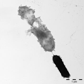 Bildet viser hvordan de små, sigarformede bakteriofagpartiklene går til angrep på en celle. (Foto: UMB)
