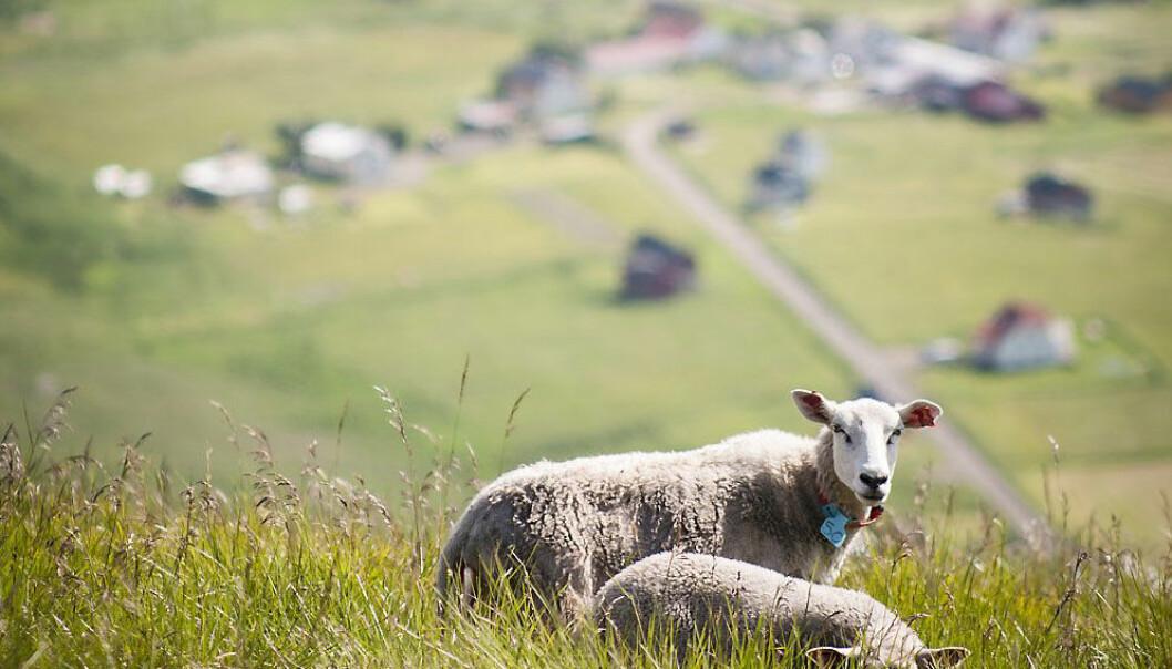 Luftig og grønt for lam fra Lofoten