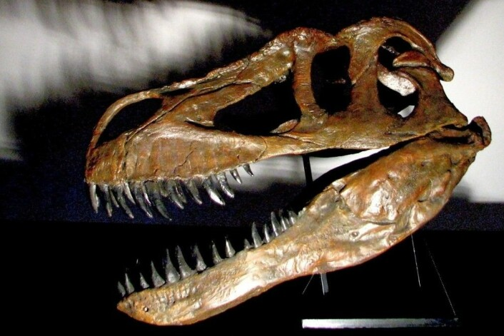 Torvosaurus Gurneyi kunne bli ti meter lang, og veide mellom fire og fem tonn. Fossilet ble først funnet på Lourinha-feltet nord for Lisboa i 2000, men det har tatt lang tid å sette sammen skjelettet, og enda lenger å artsbestemme fossilet. (Foto: Christophe Hendrickx)