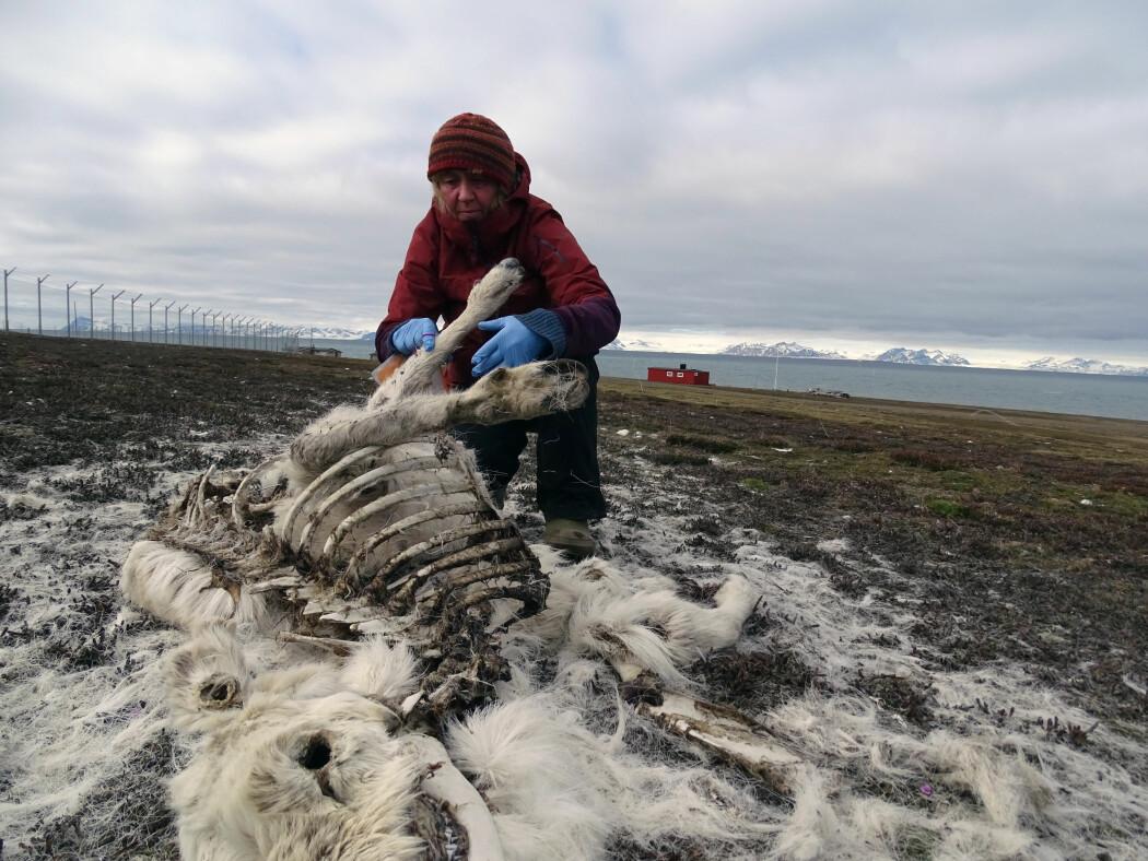 Forskeren Åshild Ønvik Pedersen undersøker et av rundt 200 kadaver som ble funnet sommeren 2019. Dette er et sjelden høyt tall siden tellingen av reinsdyr startet på Svalbard for 40 år siden.