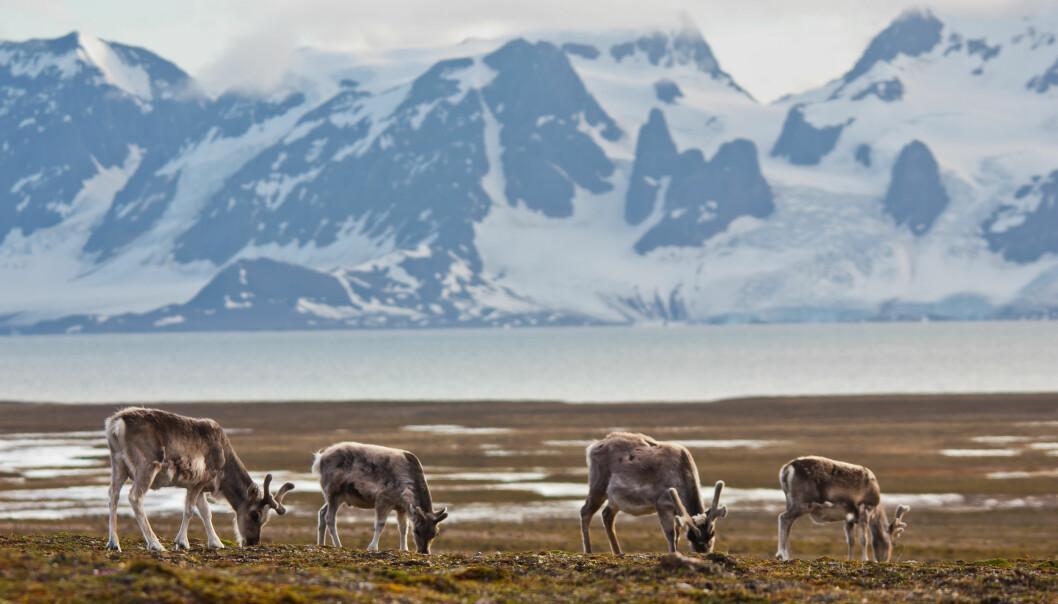 Om sommeren, når tundraen står i blomst, beiter reinsdyrene på de kortvokste plantene de finner på bakken, som reinroser, polarvier og myrull.
