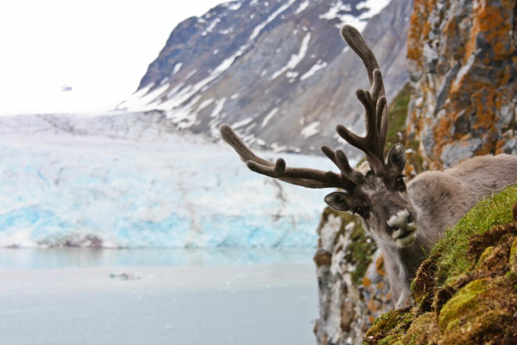 I mangel på mat vinterstid observeres rein som spiser tang og tare eller klatrer opp fjellsider for å finne vegetasjon.