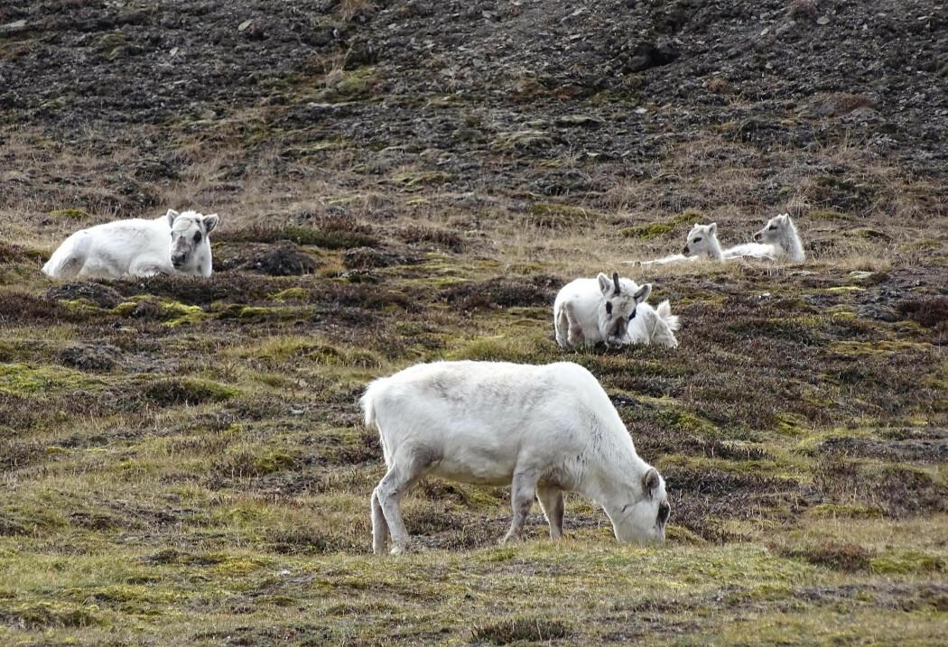 En tøff vinter uten mye mat ender gjerne med at mange dyr dør av sult og utmattelse, særlig eldre og kalver. Neste sommer fødes det få kalver.