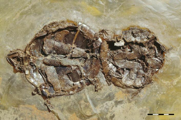 Dette fossilet av den utdødde skilpadden A. crassesculpta er helt unikt i sitt slag. Sammen med noen andre fossiler av samme art er dette det eneste fossilet som viser paring hos virveldyr. (Foto: Senckenberg Naturmuseum Frankfurt)