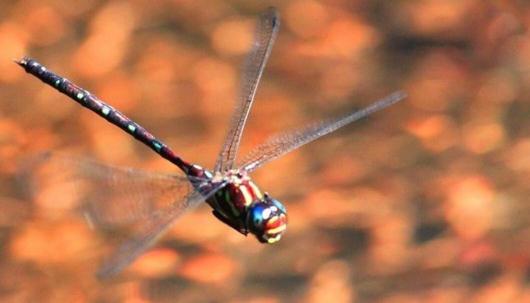 De fire vingene, som kan bevege seg uavhengig av hverandre og gjør øyenstikkerne til utrolige luftakrobater, er svært interessante for det amerikanske forsvaret. Derfor bruker de mye ressurser på forskning på nettopp øyenstikkere. causetheyrethere/Flickr, CC