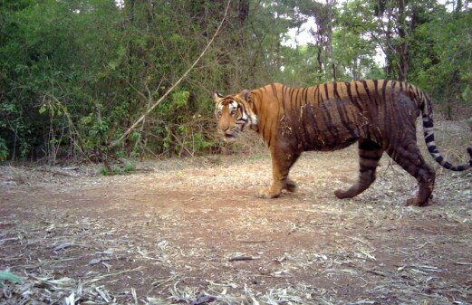 Indian authorities may have exaggerated claims of rising tiger numbers