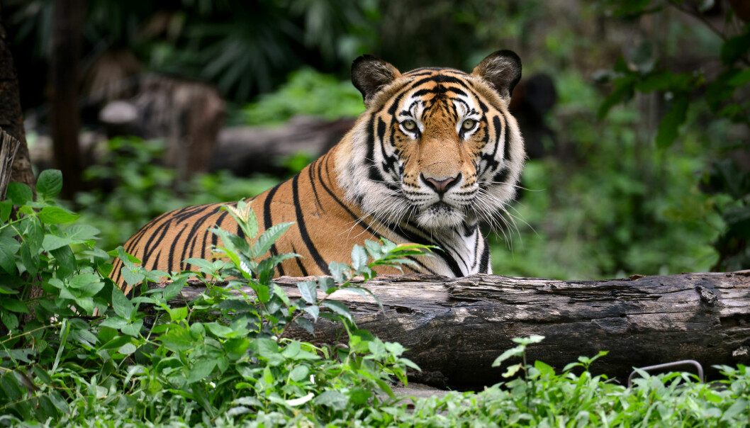 The tiger is one of the most popular endangered animals in the world.