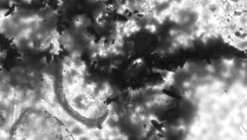 De grålige halvmåneformede delene av bildet er to av fossilene, mens de sorte krystallene er rester av svovelkis. Det at de to ligger så tett er bevis for at organismene brukte svovel i sin forbrenning, mener forskerne. (Foto: David Wacey)