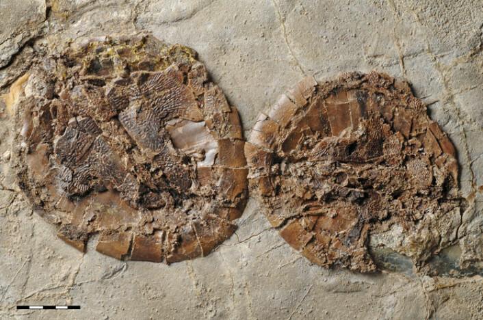 De omlag 47 millioner år gamle fossilene fra Messelgruva viser hann og hunn av den utdødde skilpaddearten samlet i par. Hunnen er jevnt over større enn hannen. Det er helt uvanlig å finne par av samme art i fossiler. (Foto: Senckenberg Naturmuseum Frankfurt)
