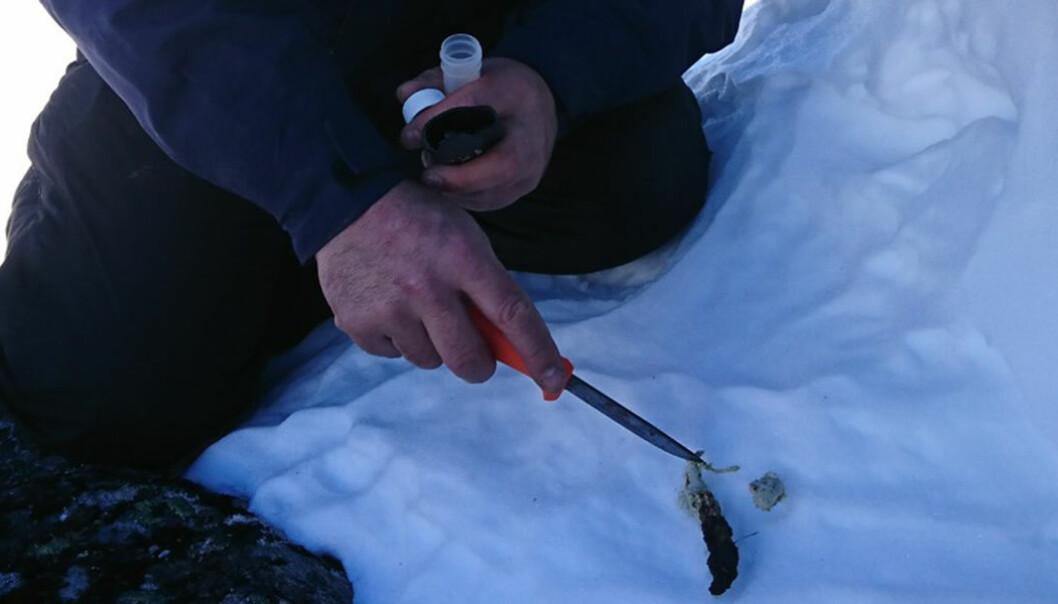 Alle prøver som sendes inn analyseres ved laboratoriet til Norsk institutt for naturforskning (NINA) i Trondheim.