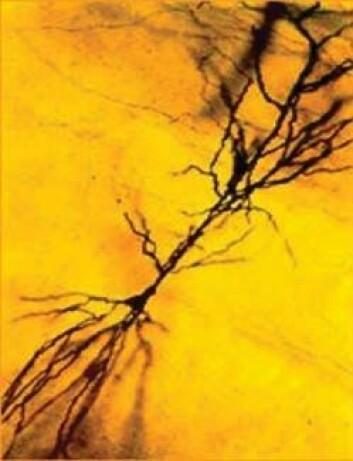 """""""Bildet viser en enkelt nervecelle i hippocampus. I enden av hver nervetråd er det en nerveterminal, såkalt synapse. Hver celle kan ha 10.000 synapser. (ill. Kristen Harris)"""""""