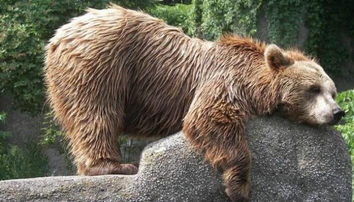 En polsk bjørn tar det rolig på en stein.