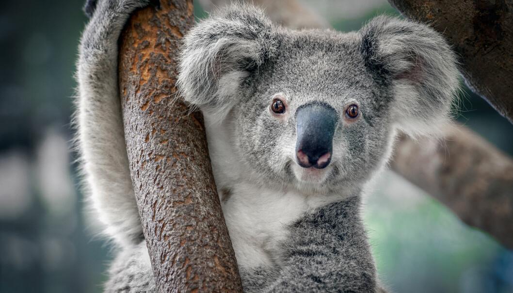 Koala. Søt. Det er derfor du bryr deg sånn. Situasjonen er ille, men koalaen er ikke utrydningstruet. Ennå.