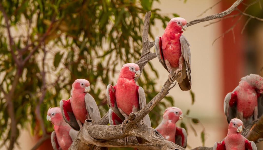 Australia har et fantastisk fugleliv. Mange arter er truet. For rosenkakaduen ser det heldigvis ikke dårlig ut.