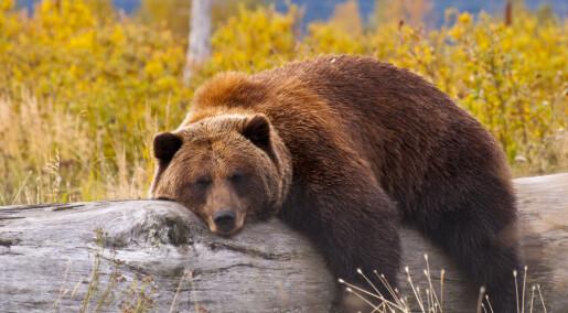 Hvordan kan bjørner ligge stille i månedsvis uten å miste musklene sine?