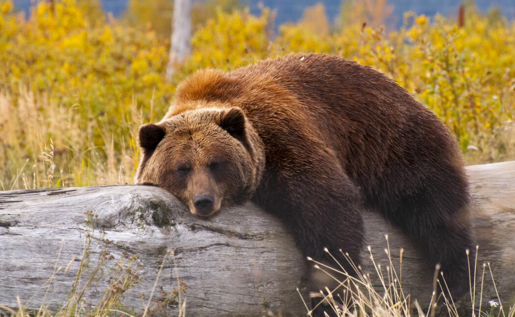 Bjørnen: en mester i avslapping.
