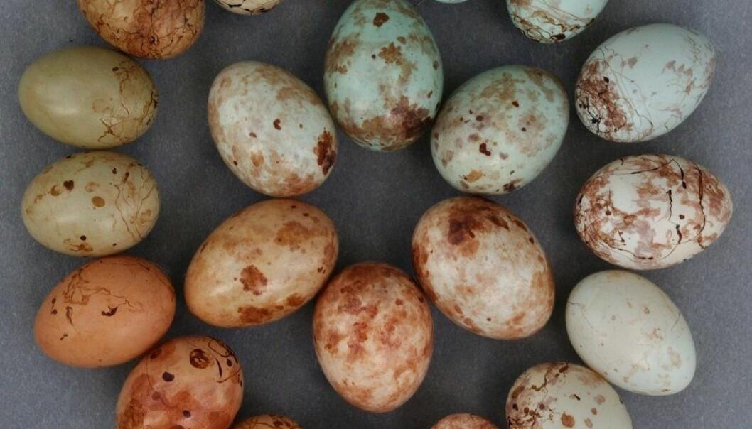 Priniaens forskjellige egg i den ytre ringen, gjøkveverens etterligninger i den indre. Claire Spottiswoode