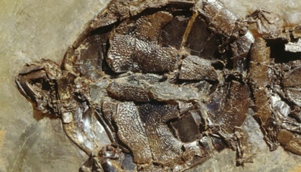 Skilpadde fra Messel, fossil. Senckenberg Naturmuseum Frankfurt