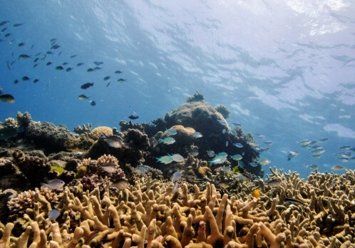 Ocean acidification a big problem — but not for coral reef fish behaviour