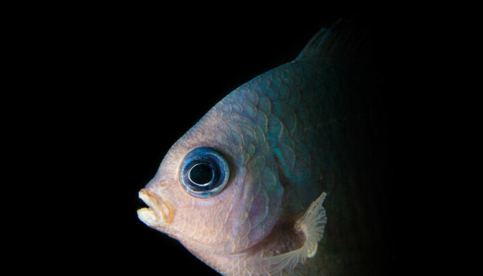 A spiny chromis, one of the fish studied by researchers to assess the affect of ocean acidification on the behaviour of coral reef fish.